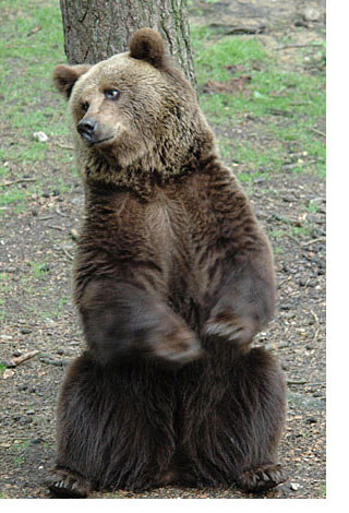 Brown Bear in Holland