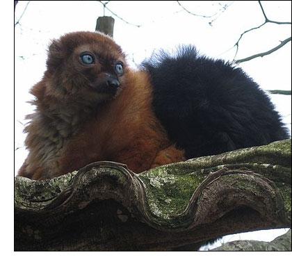 Black Blue-Eyed Lemur in Madascar