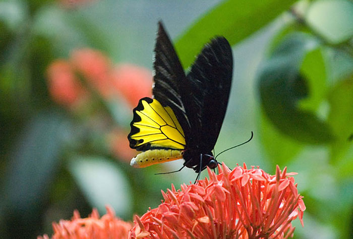 Malaysian Butterfly, Yellow