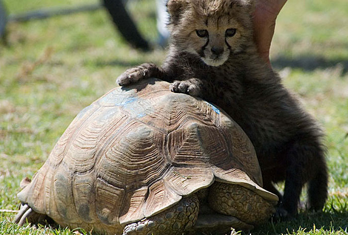 Baby Cheetah and Turtle in Namibia