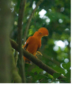 Bird in Suriname Forest