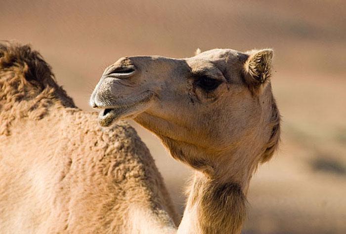 Camel in United Arab Emirates